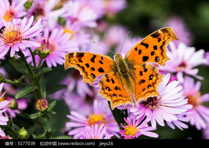 蝶恋花 在翠菊上的黄钩蛱蝶背面特写图片