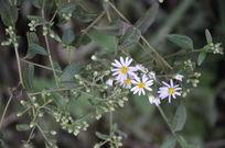 几朵野菊花