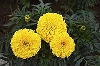 三朵盛开的黄菊花