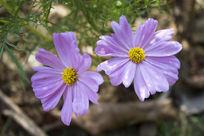 粉红色波斯菊