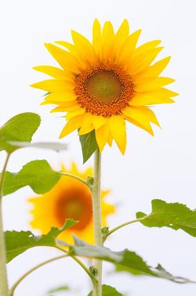 金黄色的葵花