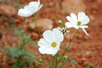 田野里的白色菊花