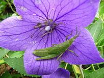 紫色花上的蚂蚱