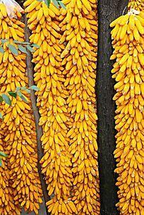 成熟的玉米