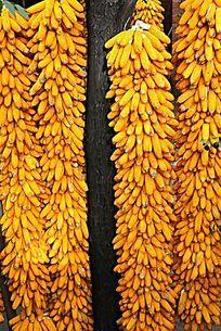 农家树上挂着的玉蜀黍