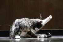 舒展身体的小猫