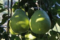 大个的柚子