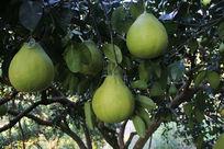 高清摄影图片柚子