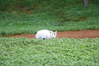 公园散步的白色野猫