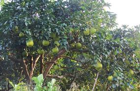 挂满树上的柚子