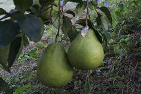 挂在树上的柚子