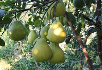 果园的沙田柚熟了