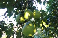 果园里的沙田柚