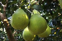 果园里的柚子