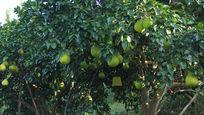 结满沙田柚的树蜜柚