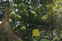 绿色的沙田柚