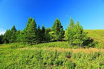 山坡松树和植被