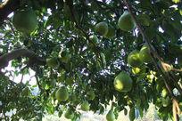 树上的沙田柚熟了
