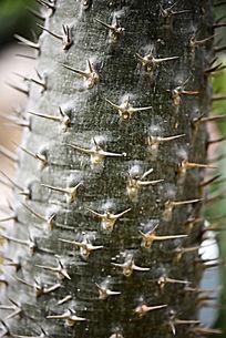 非洲霸王树