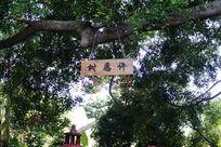 许愿树是一棵上百年的大榕树