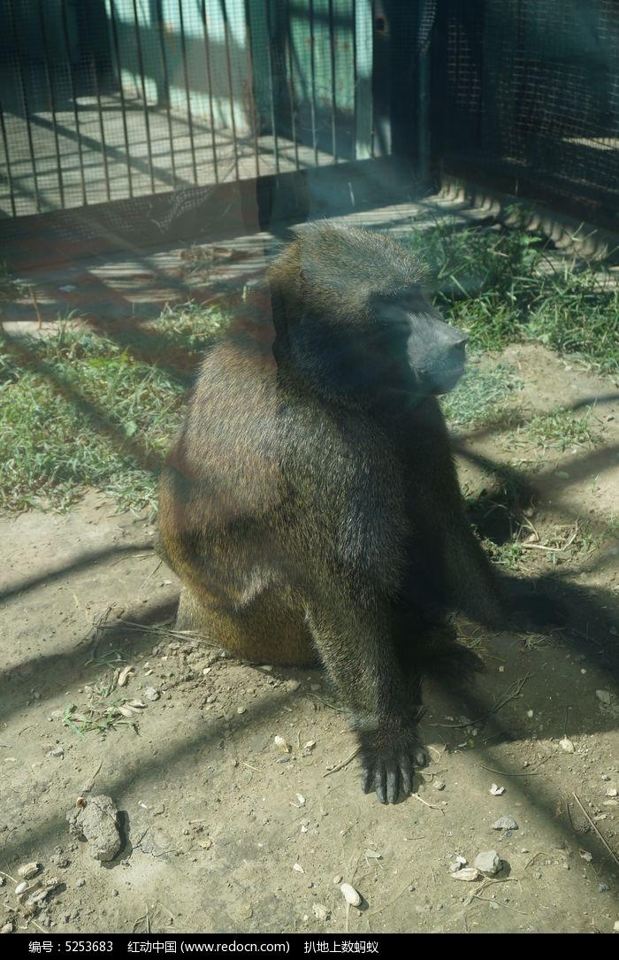 笼子里的狒狒图片