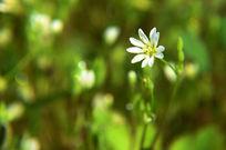 白色的小野花