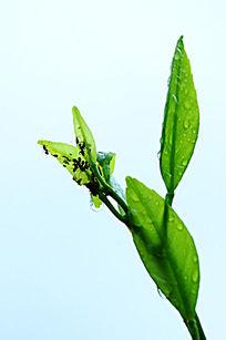 近景桔子树叶和蚂蚁