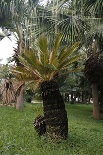 亚热带菠萝树