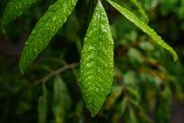翠绿色叶子上的露水