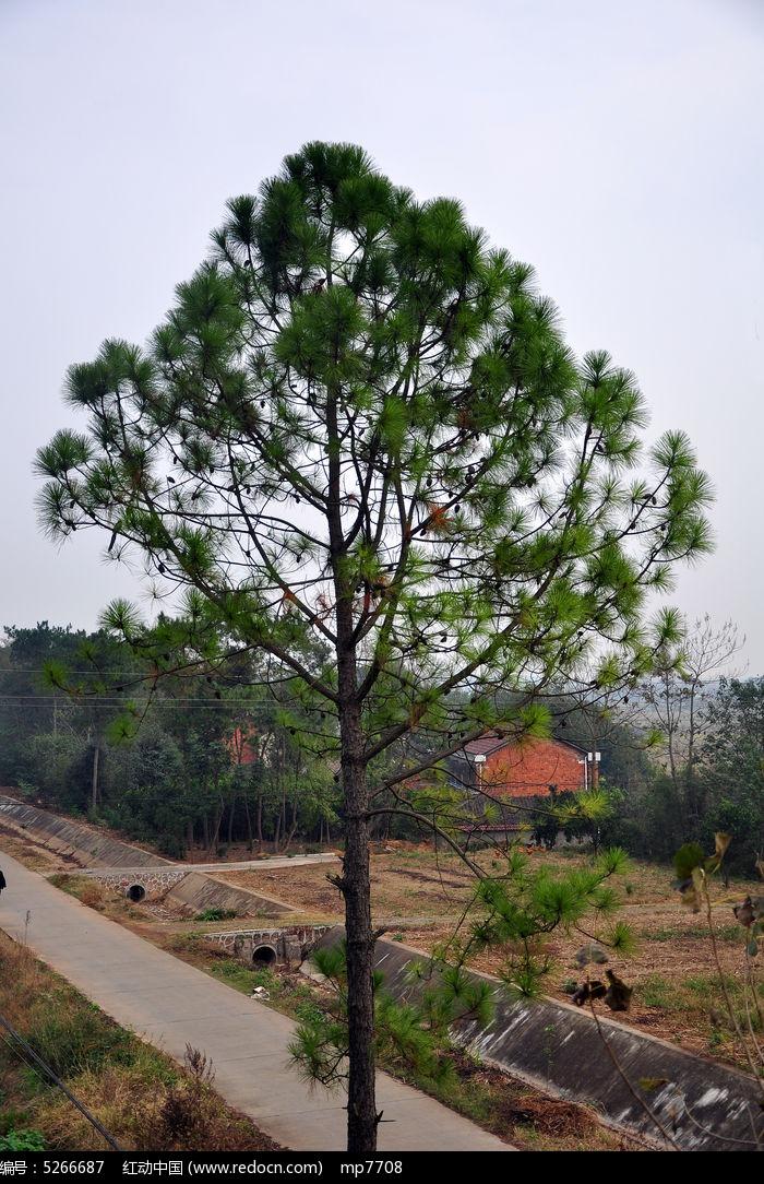 乡村的一棵松树图片