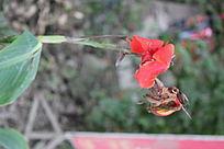 鲜艳的红花和枯萎的红花图片