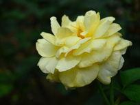 淡黄色月季花