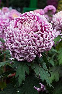 粉团团的紫菊
