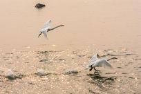 湖水里起飞的天鹅