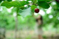 美女摘果子