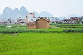 稻香围绕的房子