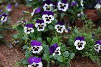 高贵的紫白色小花