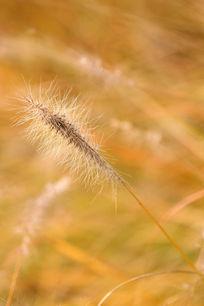 金色秋季狗尾草也黄了