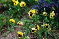 鲜艳夺目的蝴蝶形小黄花