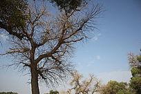 蓝天下的大树图片