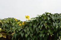 山药叶子和花朵