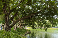 小叶榕大树