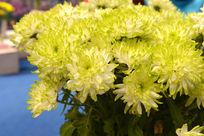 淡雅绿色菊花