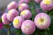 粉乒乓菊花