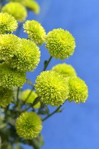 蓝色背景里的绿菊花