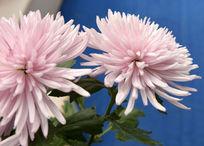 漂亮的粉红色菊花