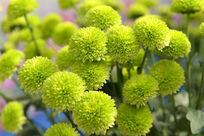 漂亮的绿橄榄菊花