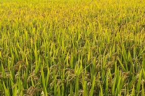 秋日金色的稻田