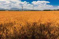 金黄色的麦田