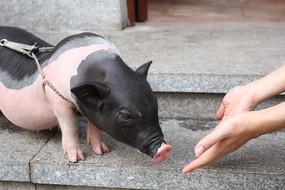 可爱的猪猪图片